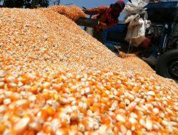 Industri Pakan Ternak Usul ke Pemerintah Lakukan Impor Jagung untuk Penuhi Kebutuhan Pakan