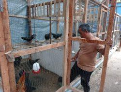 Kades Beri Contoh Beternak Ayam KUB, Bangkitkan Ekonomi Warganya