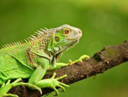 Budi Beternak Iguana dan Hasilkan Puluhan Juta Sekali Panen