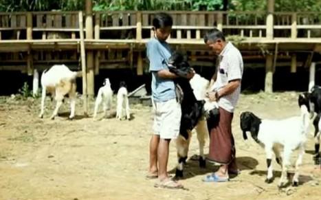 proses budidaya ternak kambing