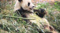 panda makan bambu