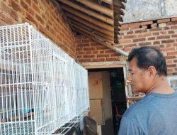Cuan Puluhan Juta dengan Beternak Burung Murai Sejak Pandemi