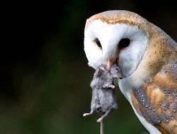 Pasang Rumah Burung Hantu, Cara Petani Sragen Atasi Hama Tikus