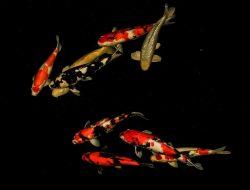 Pakar Jelaskan Faktor yang Bisa Tingkatkan Kecantikan Warna Ikan Koi
