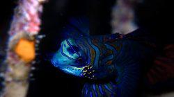 Ikan Mandarin, Penghuni Lautan Tercantik yang Jadi Incaran Pehobi Ikan Hias