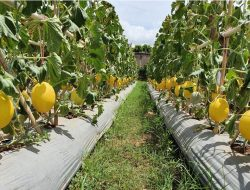 Lebih Mahal dari Melon Hijau, Begini Peluang Usaha Melon Golden