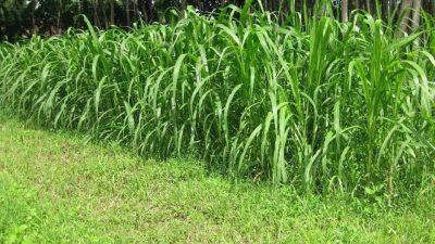 Fementasi rumput untuk pakan ternak
