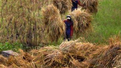 Proses fermentasi dengan jerami padi dengan menggunakan urea dan probiotik