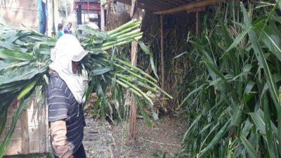 Fermentasi pakan dengan batang jagung