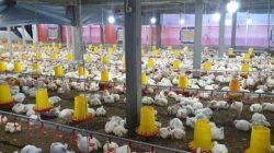 Lewat Program Electrifying Agriculture, PLN Dukung Industri Peternakan Ayam