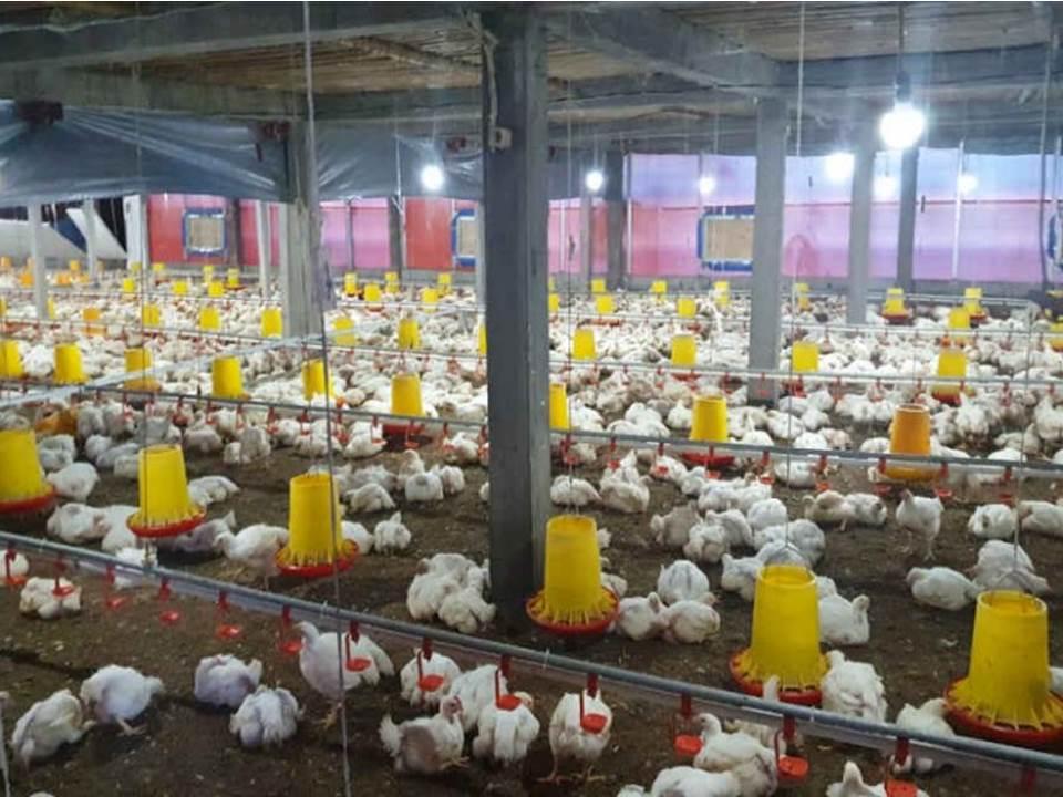 Salah satu bidang agriculture di Kabupaten Semarang maupun Kota Salatiga yang cukup tumbuh adalah sektor peternakan, khususnya peternakan ayam.