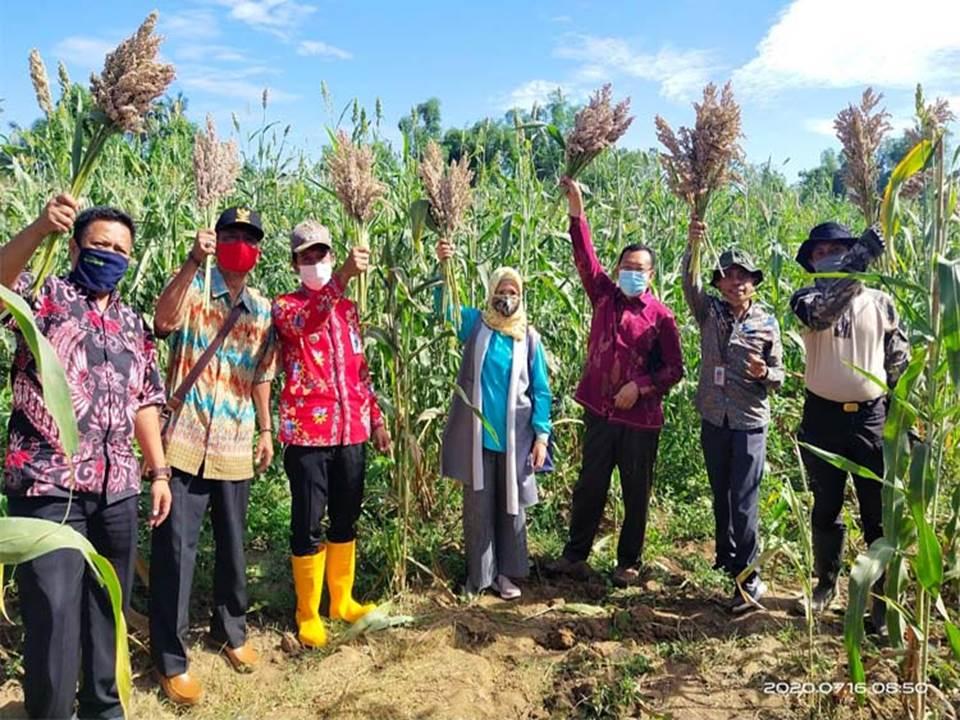 Panen tanaman sorgum di Situbondo untuk memenuhi kebutuhan pakan ternak juga meningkatkan kesejahteraan petani di tengah pandemi Covid-19.