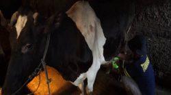 Pemerahan susu sapi di peternakan Dukuh Kepalon Boyolali. (foto: Diskominfo Boyolali)