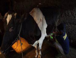 Permintaan Susu Sapi Boyolali Meningkat Selama Pandemi
