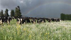 Sapi di padang rumput regeneratif di peternakan sapi perah Mark Anderson