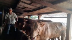 Ternak sapi milik Suta'i warga Desa Petungsewu, Kec Dau, Kab Malang (Foto: Istimewa)