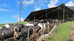 Produk Hewani Penyumbang Gas Metana Pada Pemanasan Global
