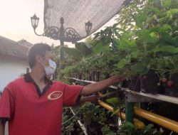 Iseng Tanam Stroberi, Warga Kampung Balirejo Ini Raup Rp8 Juta Per Bulan