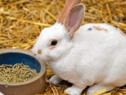 Mahasiswa Peternakan Unibraw Ciptakan Pellet untuk Pakan Kelinci dari Rumen Sapi