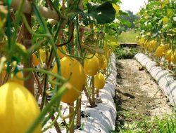 Begini Cara Tepat Budidaya Melon Golden di Polybag