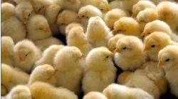 Ilustrasi: Bibit atau DOC Ayam Broiler