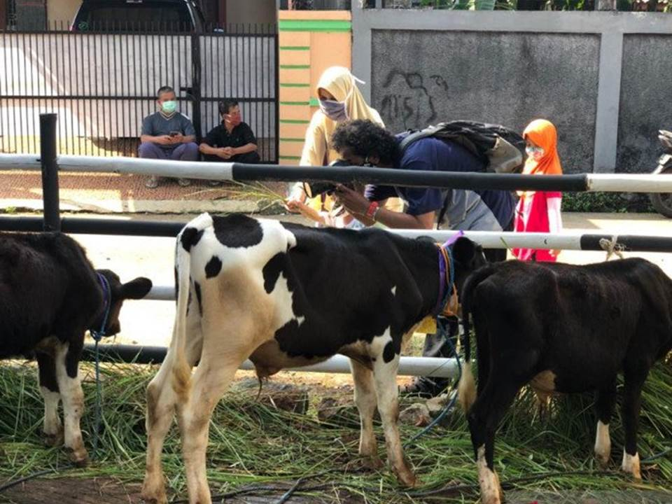 Wisatawan memberikan pakan ternak untuk sapi perah di lokasi Ekowisata Cibugary, Kelurahan Pondok Rangon, Kecamatan Cipayung, Jakarta Timur (Foto: ANTARA)