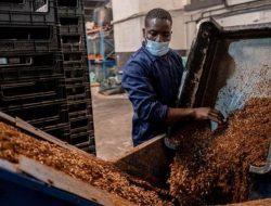 Selain Jadi Pakan Ternak, Belatung di Afrika Selatan Juga Jadi Makanan Manusia