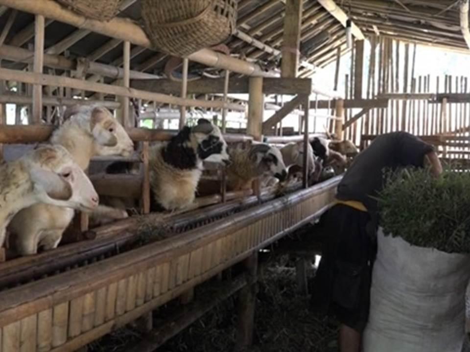 Budidaya Domba