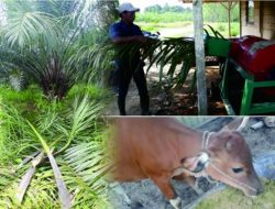 Buat Pakan Sapi dari Limbah Pelepah Sawit, Solusi Menghemat Biaya Produksi