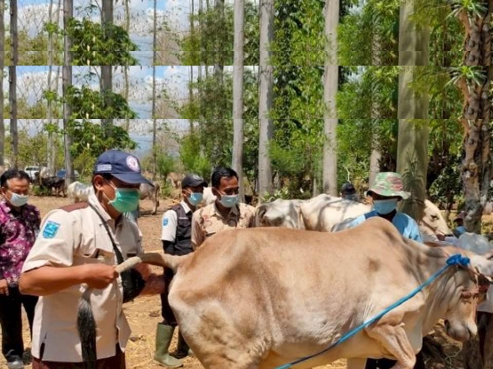 Kepala Dinas Peternakan dan Kesehatan Hewan Kabupaten Probolinggo, saat meninjau sapi (Foto: istimewa)