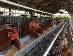 Ini Sistem Perkandangan Agar Produksi Ayam Ras Petelur Bisa Maksimal