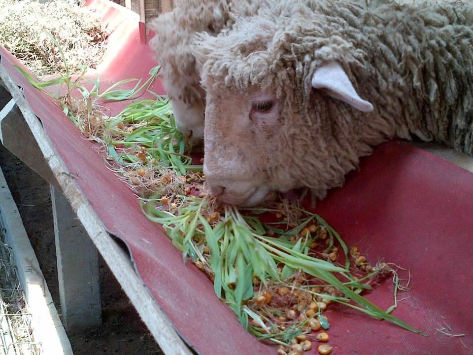 Foto: suksesternakkambing.com