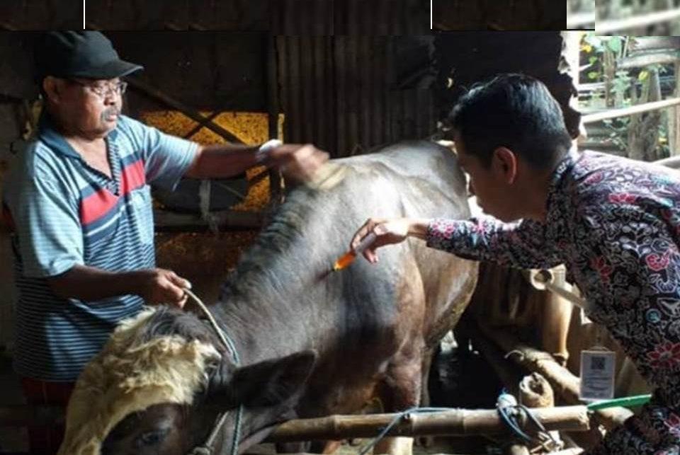 Pemberian obat cacing pada sapi (Foto: Istimewa)