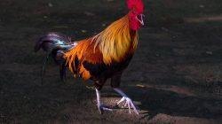 Ilustrasi: Ayam Berkokok
