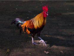 Kenapa Ayam Berkokok? Ini Penjelasan Ilmiahnya