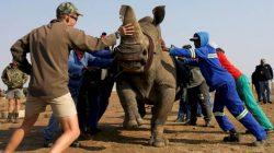 Peternak Badak Terbesar di Afrika Selatan Minta Perdagangan Cula Dilegalkan