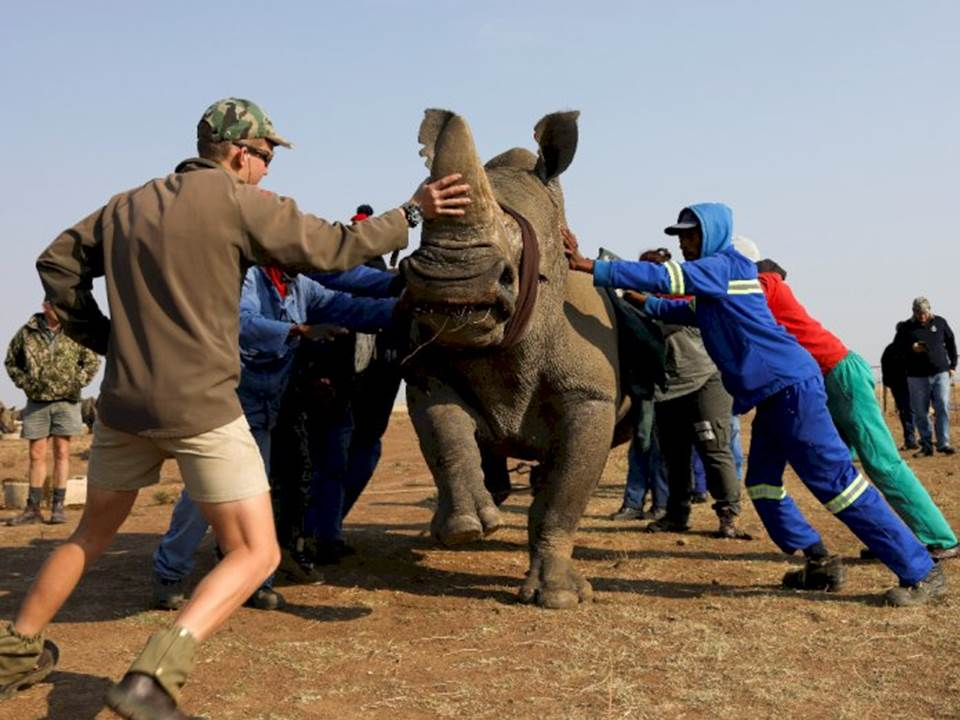 Memotong Cula Badak Untuk Mencegah Perburuan di Afrika Selatan, Foto: REUTERS/Siphiwe Sibeko