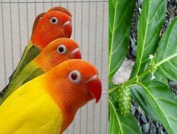 Mengintip Manfaat Daun Mengkudu dan Cara Pemberiannya Untuk Lovebird
