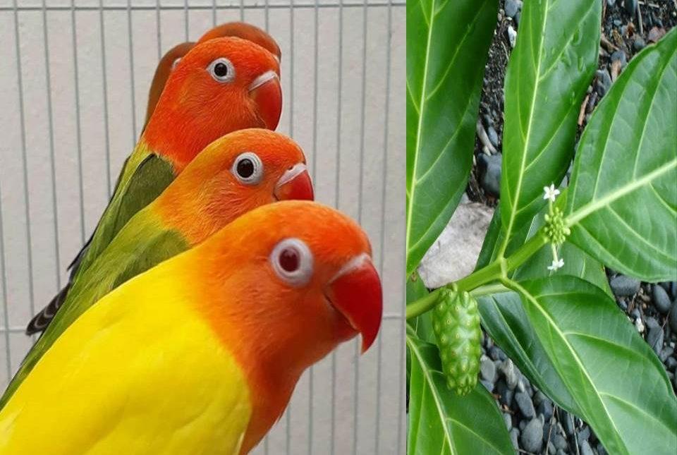 ilustrasi: Manfaat daun mengkudu untuk lovebird