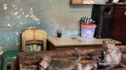 Penjualan Bayi Monyet Ekor Panjang Masih Tampak di Bali