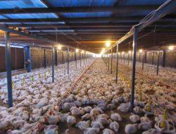 Kandang Sistem Closed House, Solusi Peningkatan Produktivitas Ayam Broiler