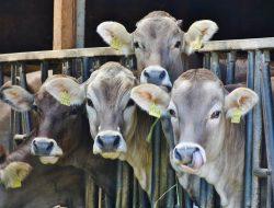 Penyakit Sapi Gila Buat Brasil Tangguhkan Ekspor Dagingnya, Begini Dampak dan Bahayanya