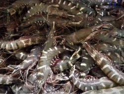 Mimika Ingin Promosikan Produk Perikanan Lokal di PON Papua