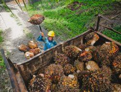 PKS Luwu Panen Perdana Kelapa Sawit Replanting