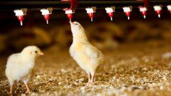 Vaksinasi ayam lewat air minum