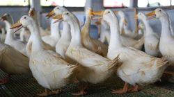 Ternak Bebek Peking Juga Menjanjikan Loh, Ini Panduannya