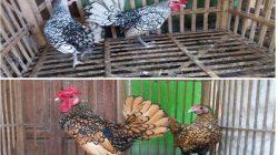 ayam sebright terdiri dari sebright warna coklat atau gold sebright yang disebut ayam batik kanada, serta ayam batik itali atau silver sebright.