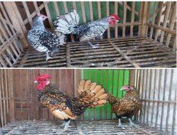 Punya Motif Bulu yang Unik, Ayam Sebright Cocok Jadi Hewan Peliharaan