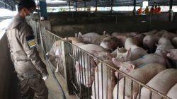 Pulau Bulan Lakukan Ekspor Babi ke Singapura