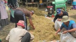 Teknik Amoniasi Jerami Padi untuk Pakan Ternak, Solusi Keterbatasan Hijauan